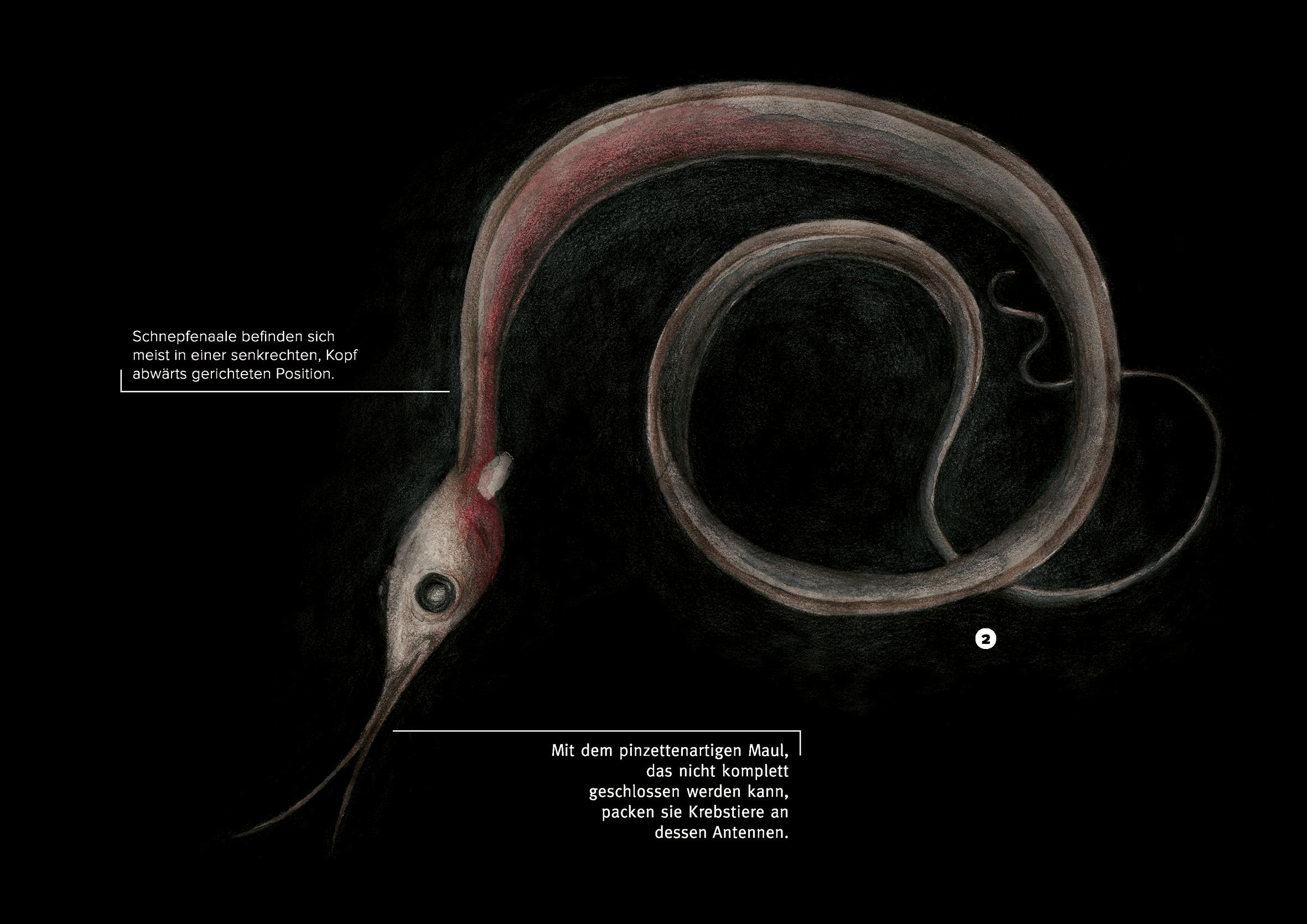 Melanie-Austermann-Meau-Design-Elftausend-Schnepfenaal-Wissenschaftsillustration-Buchillustration
