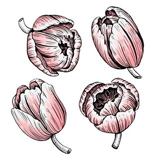 Tulpen_rosa_florale-Illustration_Pflanzenillustration_Melanie-Austermann_Meau-Design_Illustrator_Grafikdesigner_Vorschaubild
