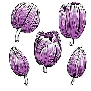 Tulpen_violett_florale-Illustration_Pflanzenillustration_Melanie-Austermann_Meau-Design_Illustrator_Grafikdesigner_Vorschaubild